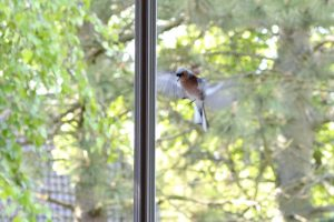 Kollision Vogel Glasscheibe